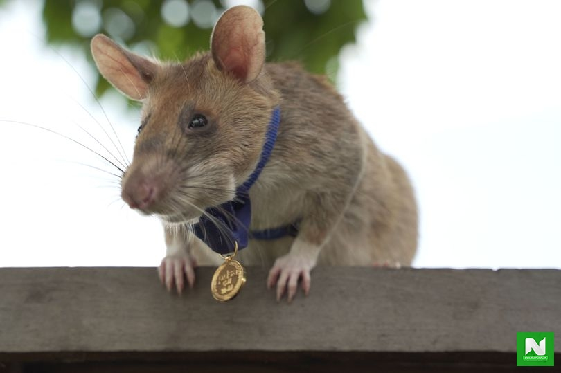 Rat Awarded Gold Medal In UK For 'Lifesaving Bravery' After Detecting Landmines (Pix)
